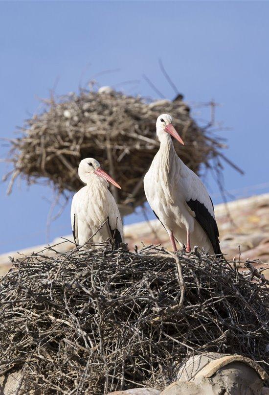 Recalculando ruta: el nuevo viaje de las cigüeñas blancas