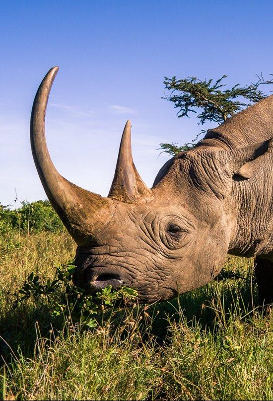 El rinoceronte negro se recupera ligeramente gracias a los esfuerzos de protección