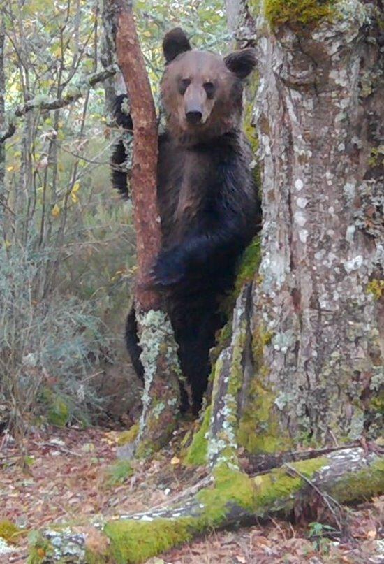 Graban un oso pardo en el Macizo Central de Ourense por primera vez en 150 años