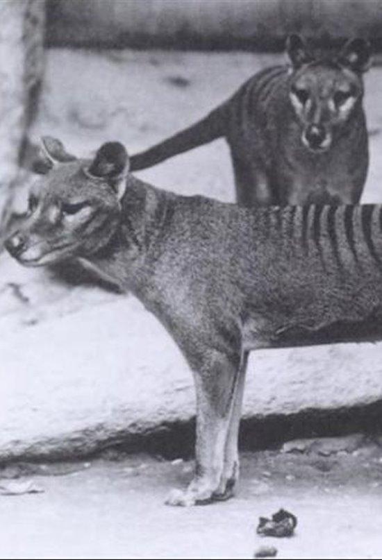 Benjamin, el último tigre de Tasmania