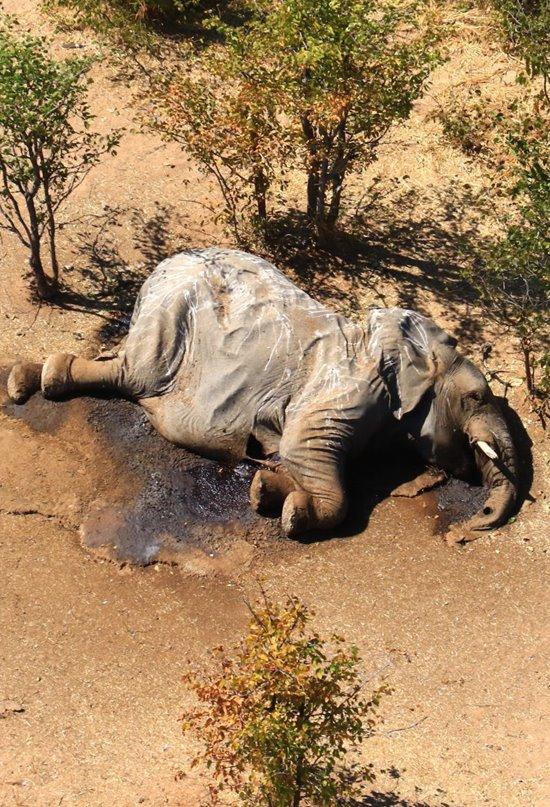 Encuentran cientos de elefantes muertos en el norte de Botswana