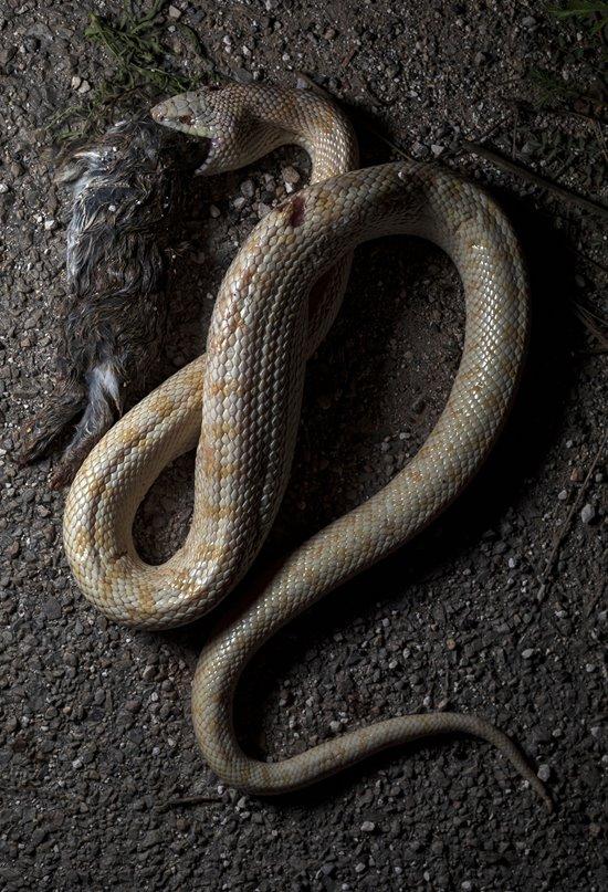 El misterio de la serpiente albina