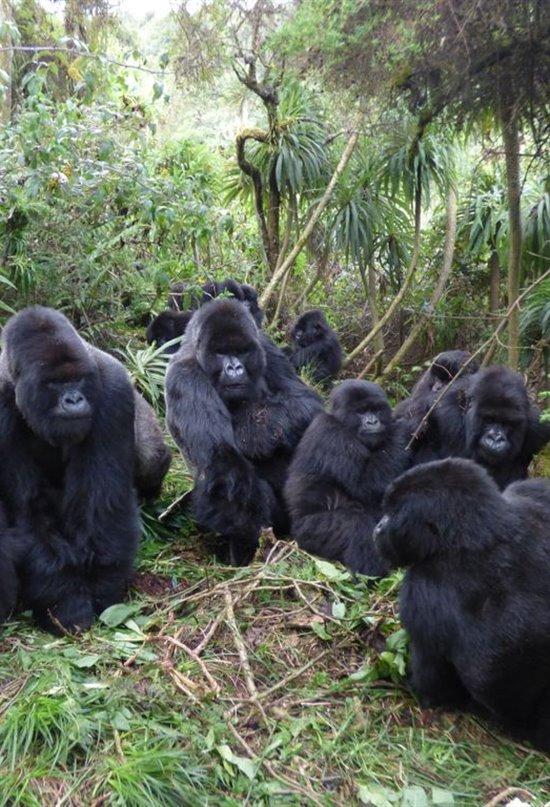 Las complejas redes sociales de los gorilas de montaña