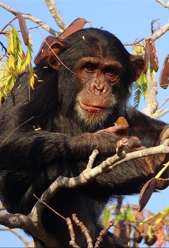 Explorando la diversidad conductual de los chimpancés