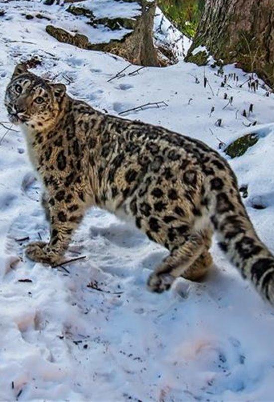 Misión: salvar al leopardo de las nieves