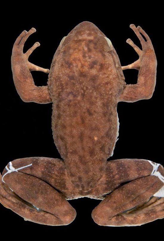 Redescubierta una rana considerada extinta hace más de medio siglo