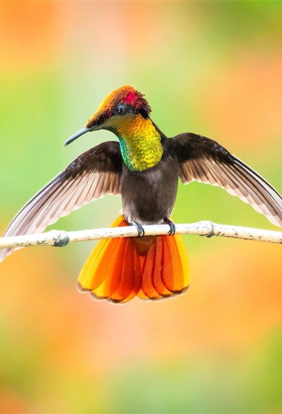 Plumas arcoíris, el secreto del color de los colibríes