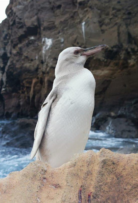 Avistado un raro pingüino completamente blanco en las islas Galápagos