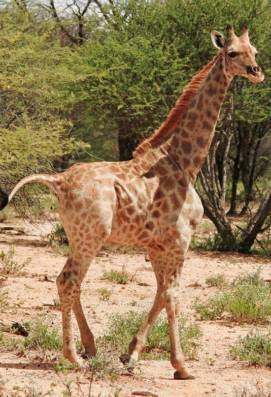 Resuelto el misterioso caso de las jirafas enanas