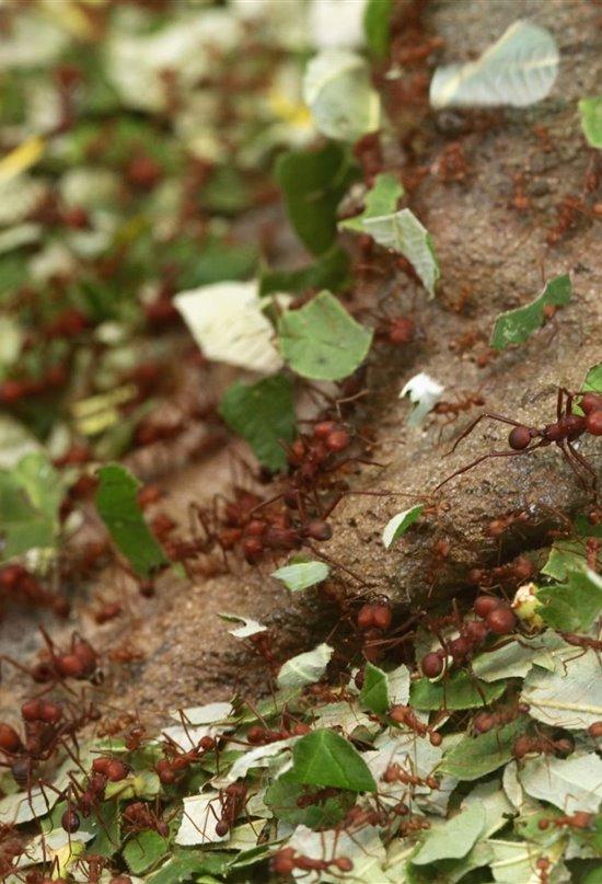 Hormigas granjeras, una fabrica subterránea de medicamentos