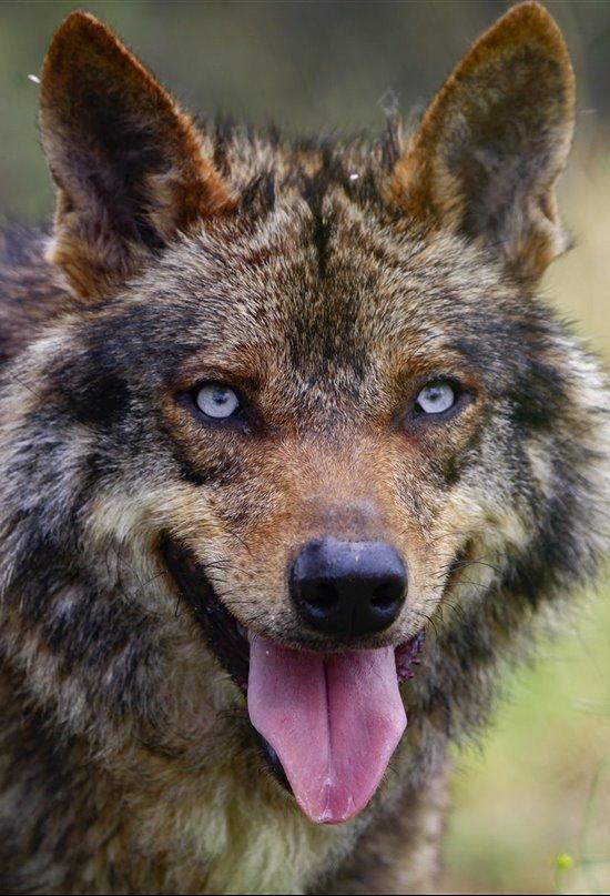 El esperanzador futuro del lobo ibérico