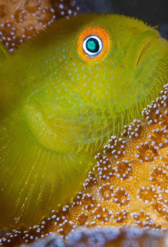 La extraña vida familiar del gobio del coral esmeralda