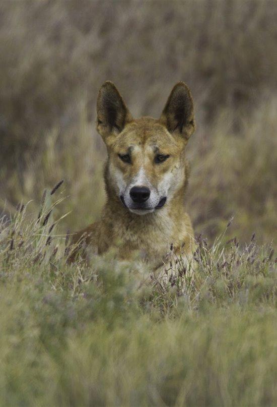 Un extraño cánido llamado Dingo