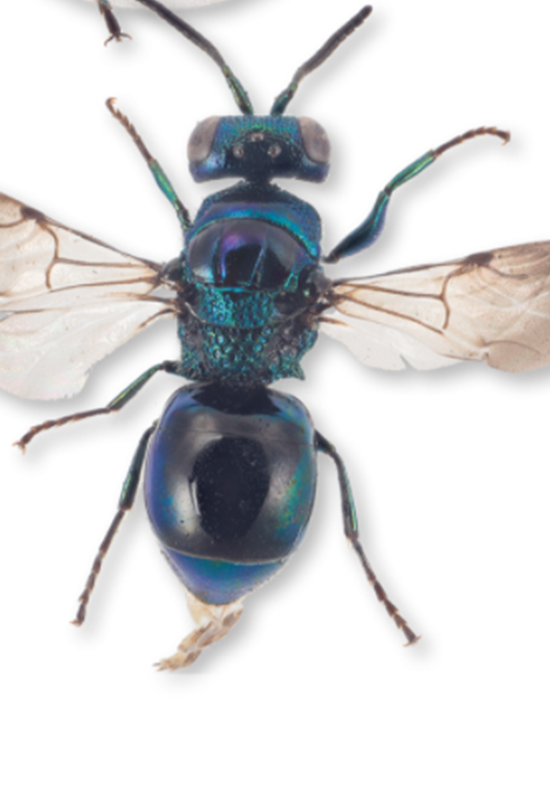 Catalogan una nueva especie de avispa por su manera de comunicarse