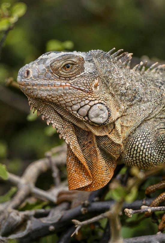 La llegada de los colonos europeos provocó la extinción muchos reptiles del Caribe
