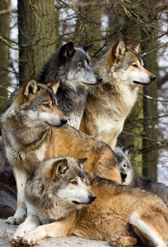 Perros y lobos, dos cánidos con cerebros muy diferentes