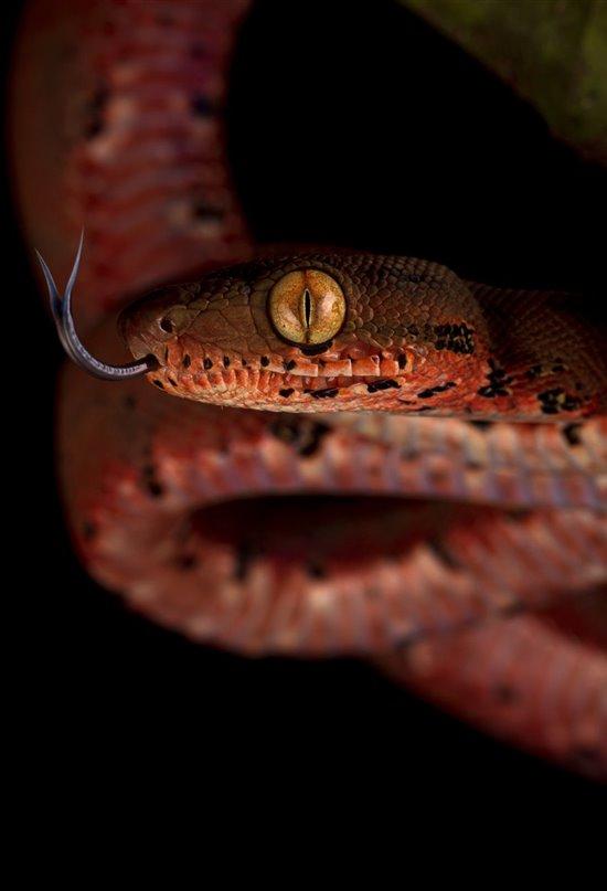 La intrigante lengua de las serpientes, una pieza clave para descifrar su entorno